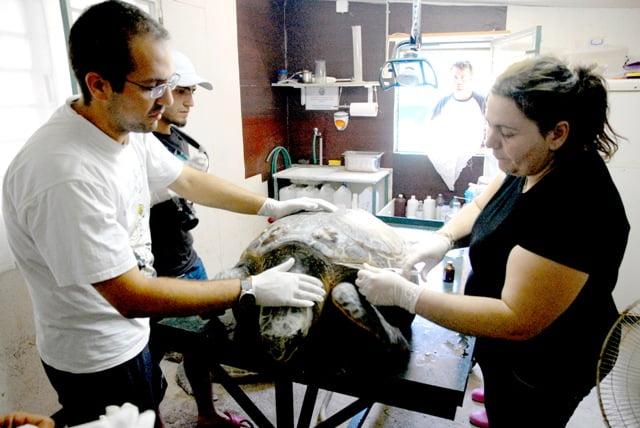 Yaralı caretta caretta tedavi altında