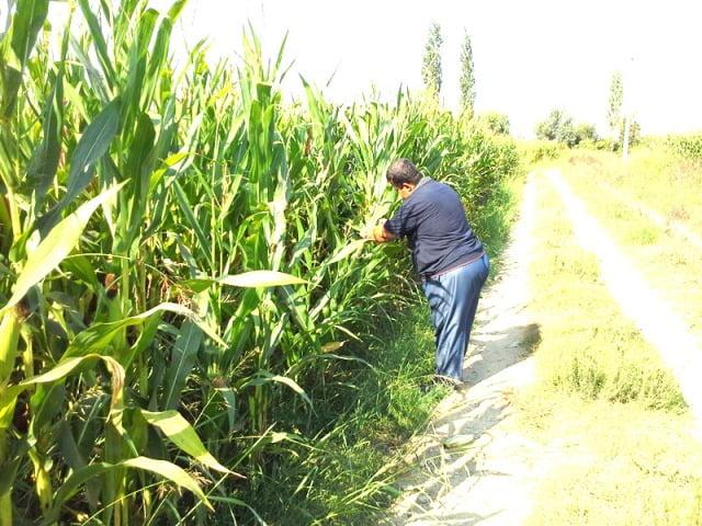 """2014 Yılı Yem Bitkileri Destekleme Müracaatları  Devam Ediyor              Dalaman İlçe Gıda Tarım ve Hayvancılık Müdür V. Vedat KAŞKAYA yaptığı açıklamada"""" İlçemizde 2013 yılı yem bitkileri destekleme müracaatları devam etmektedir. 2013 yılında  95  üreticimize 3.012 dekar  alan için toplam 219.724 TL ödeme yapılmıştır. Üreticilerimizin iş ve işlemlerinin zamanında yapılması için İlçe müdürlüğümüze şahsen müracaat etmeleri veya  Ziraat mühendisi Orhan  İLHAN'ı 542 591 27 50 numaralı telefondan ulaşarak randevu almaları gerekmektedir. Destekleme ödemeleri için  arazi kontrollerini yerinde   yaptırınız.   Üreticilerimiz yem bitkileri destekleme ödemesinden faydalanabilmeleri için şu hususlara dikkat etmeleri gerekmektedir. Desteklenen ürünler ve destekleme miktarları; Yonca: 50 TL/da/yıl, Korunga: 40 TL/da/yıl, Silajlık Mısır: 75 TL/da,  Yapay Çayır-Mera: 100 TL/da,  Tek Yıllıklar (Fiğ, Macar Fiği, Burçak, Mürdümük, Sorgum, Sudan otu, Sorgum-sudan otu melezi, Hayvan pancarı, Yem şalgamı, Yem bezelyesi)  35 TL/da. dır.  Müracaat Yeri ve Zaman: 1 Ocak – 15 Kasım 2014 tarihleri arasında İlçe Gıda, Tarım ve Hayvancılık Müdürlüğüne  başvuru yapılacaktır.  Destekleme Şartları: 1-Çiftçi Kayıt Sisteminde adı geçen çiftçinin üzerine müracaat yapılacak (Çiftçinin özlük, arazi ve ürün bilgileri 2014 yılı ÇKS de kayıtlı olacaktır.)  2-Ürün hasat etme aşamasına geldiğinde  haber verilecek ve kontrolü Müdürlüğümüzce yapılacaktır. Tek yıllık yem bitkilerinde; % 50 çiçeklenme döneminde hasat edildiğinde, Çok yıllık yem bitkilerinde de ilk hasattan sonra, hayvan pancarı, yem şalgamı hasattan sonra, Silajlık mısır ekilişlerinde danelerin hamur olum döneminden sararmaya başladığı döneme kadar silaj yapmak amacı ile hasat edildiğinde  destekleme ödemesine hak kazanılır.    3-Yem bitkisi ekilişleri toplamı en az 10 dekar olacaktır. Çok yıllık yem bitkisi ekilişlerinde 4 yıl boyunca üretim yapacağına dair çiftçi taahhüdü alınacaktır. Bu Taahhüde uymayan üreticilerden  2013/18 sayılı Yem B"""