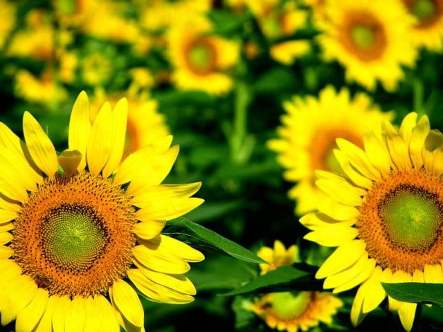TİGEM'den Yağlık Ayçiçeği ihalesi