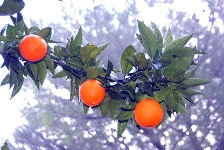 TİGEM'den Valencia portakal ihalesi