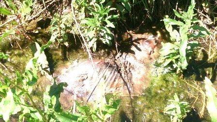 Tilki'ler tavuk kurbanı