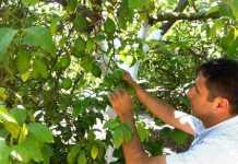 Limonda erken hasat uyarısı