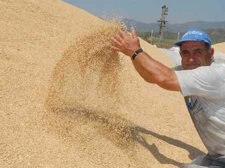 TİGEM'den Buğday ve Dane Mısır ihalesi